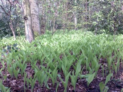 Meiklokjes in bos, nog niet open
