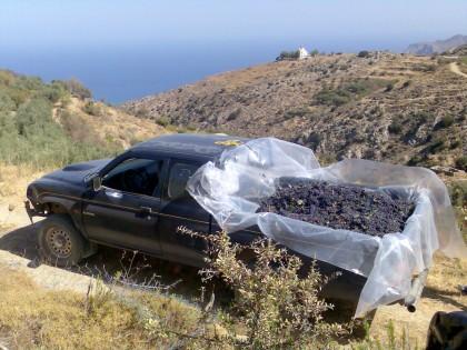 Druivenoogst in Oost Kreta