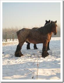 20 december - boerenpaard