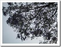 paarse bomen