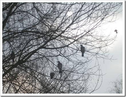 duiven in een wilg