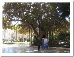 onze kamerplanten worden héél grote bomen in zuid Spanje
